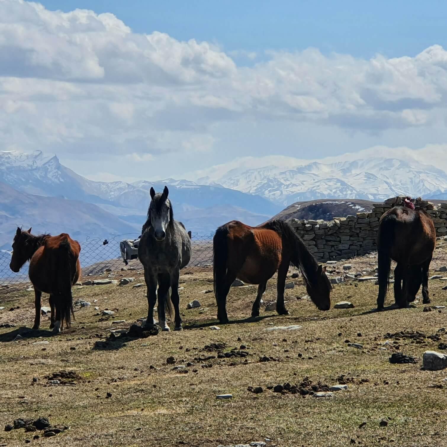 Дагестан кони