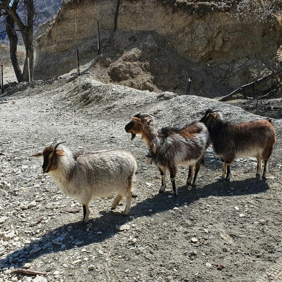 овцы в Дагестане